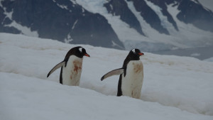E 50 Gentoo Penguins Danco Island 15 1 20 K Morgan