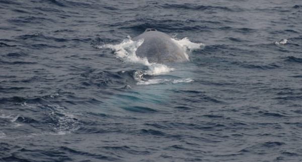 Blue Whales 182